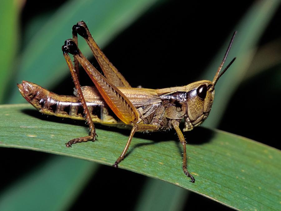 Marsh Meadow Grasshopper.