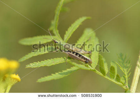 Meadow Grasshopper Stock Photos, Royalty.