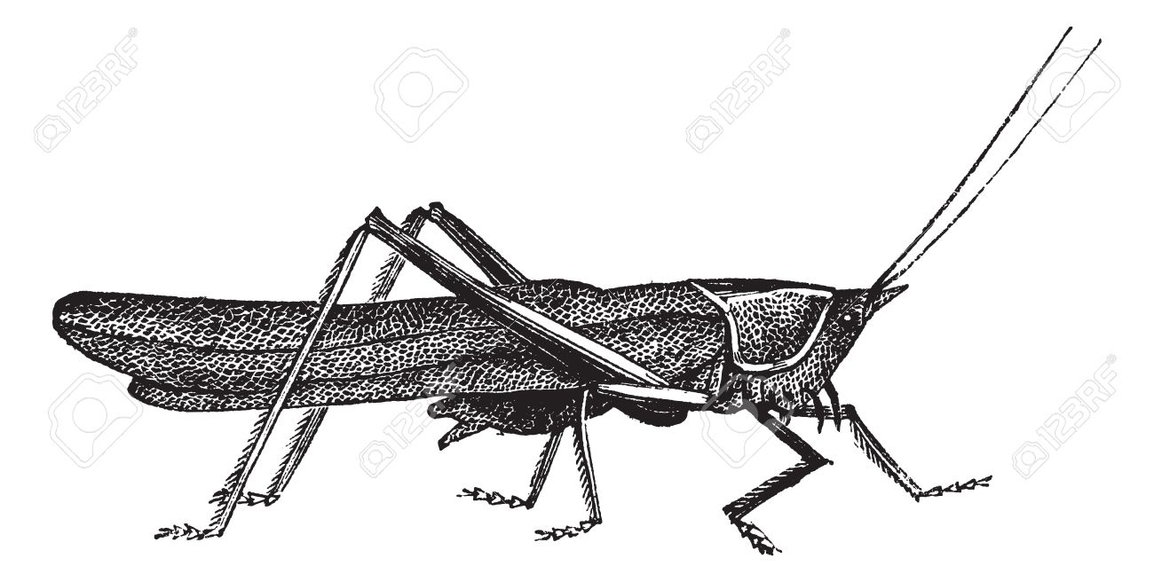 Meadow Grasshopper Or Chorthippus Parallelus, Vintage Engraving.