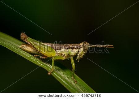 Meadow Grasshopper Stock Photos, Royalty.