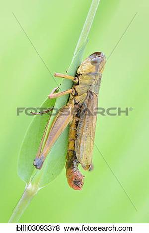"Pictures of ""Meadow Grasshopper (Chorthippus parallelus), dead."