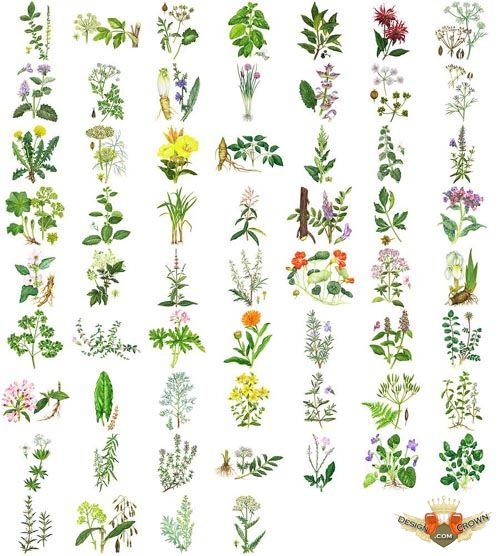 herbs raster cliparts and images.