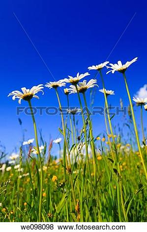 Pictures of Margerite, Leucanthemum vulgare, oxeye daisy.