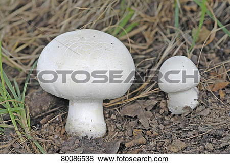 Pictures of DEU, 2006: Field Mushroom, Meadow Mushroom (Agaricus.
