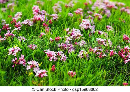 Stock Photography of pink flowers at highland meadow.
