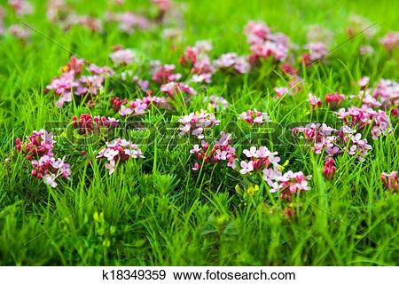 Stock Photograph of Wild plant of pink flower in Pyrenees.
