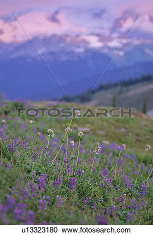 Stock Photography of Mountain wildflower meadow with lupin and.