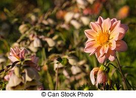 Stock Photo of pink yarrow flowers growing on meadow.