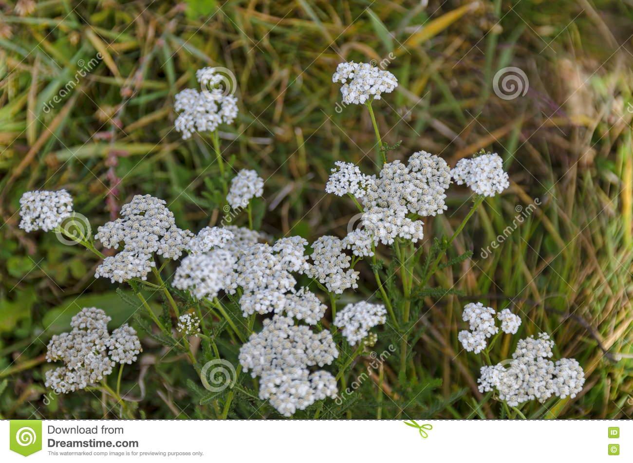 Yarrow Flowers Or Achillea Millefolium In Meadow Stock Photo.