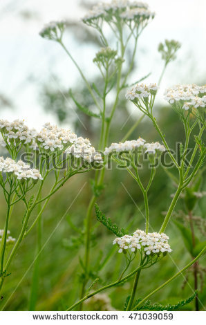 Yarrow Stock Images, Royalty.