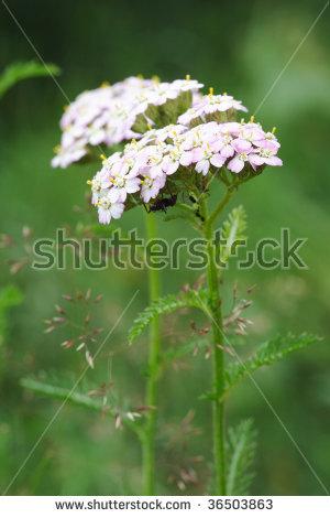 "achillea Millefolium"" Stock Photos, Royalty."