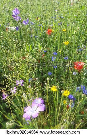 "Stock Photo of ""Summer meadow, Cornflower (Centaurea cyanus."