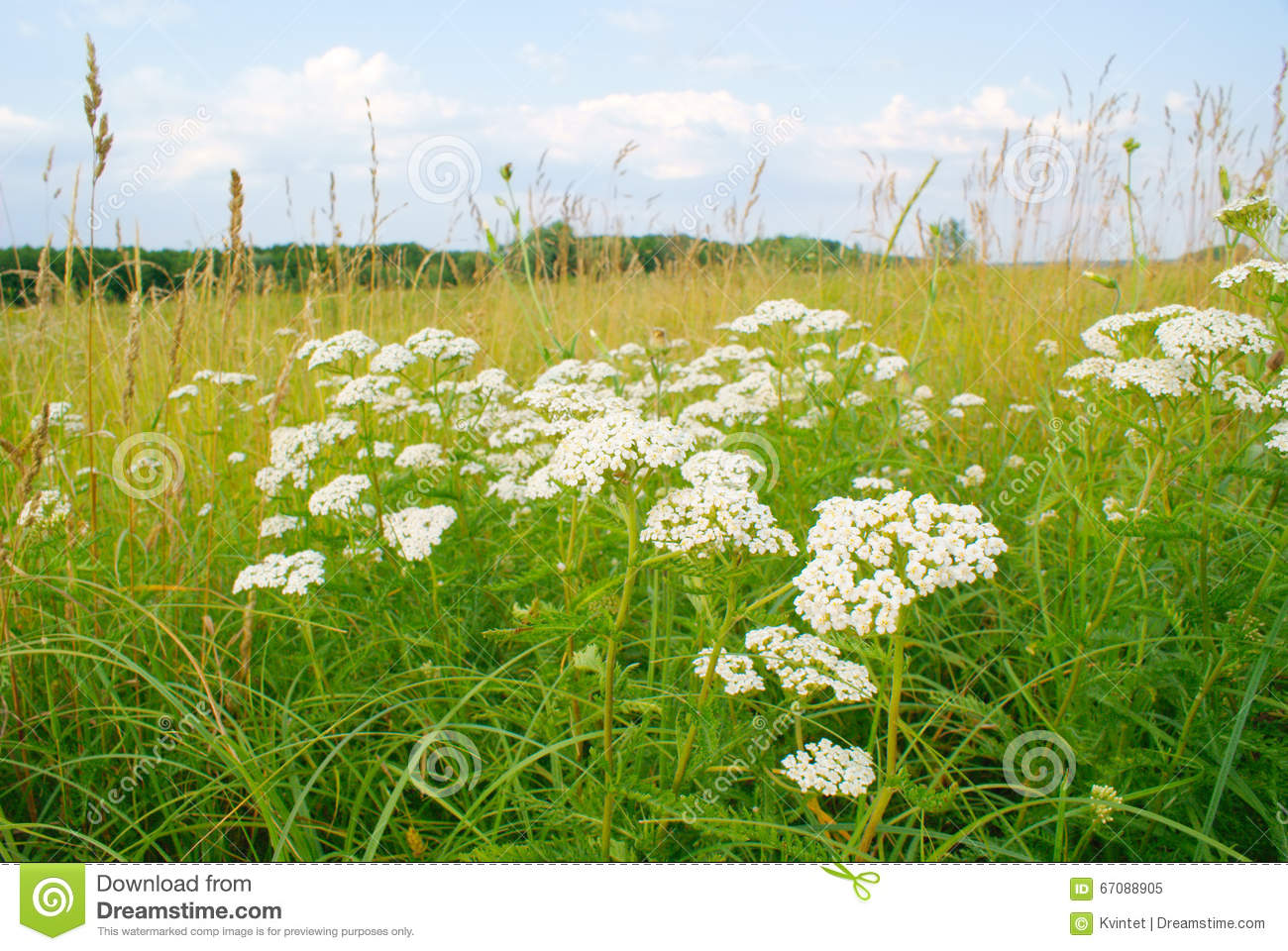Plant Yarrow With White Flowers In The Meadow Stock Photo.