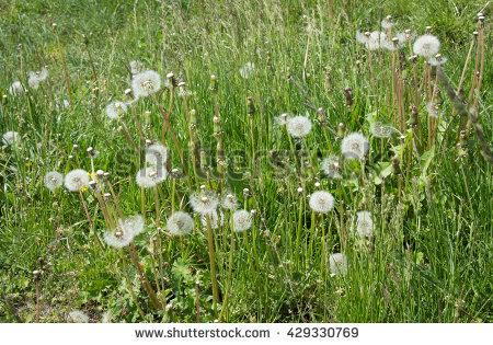 Fuzzy White Wild Flower Plant Stock Photos, Royalty.