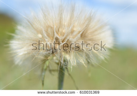 Salsify Stock Images, Royalty.
