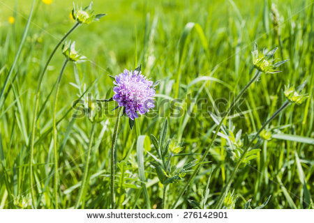 Knautia Stock Photos, Images, & Pictures.
