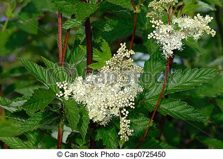 Stock Photography of Meadowsweet blossoms in herbs garden.