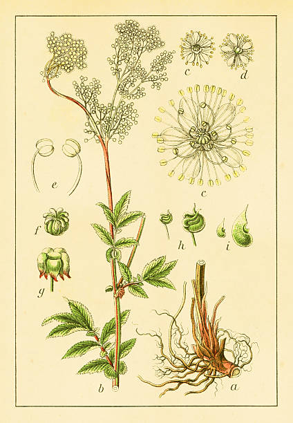 Meadow Sweet Clip Art, Vector Images & Illustrations.