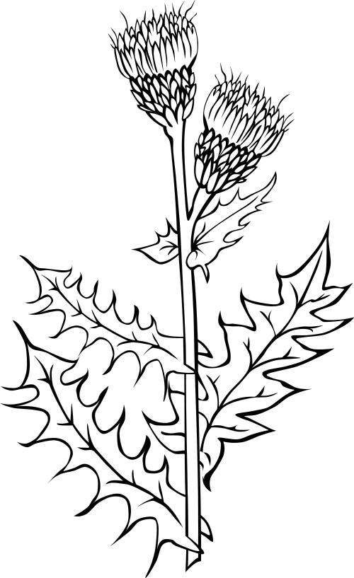 Canada thistle Cirsium arvense BW.