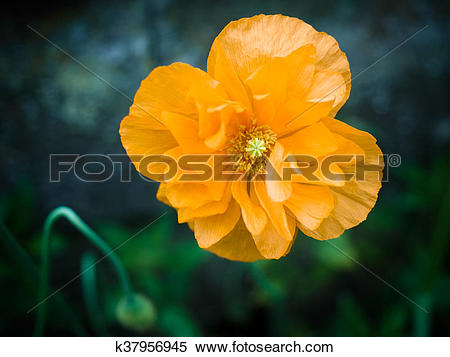 Stock Image of Orange Welsh Poppy Flower (Meconopsis cambrica.
