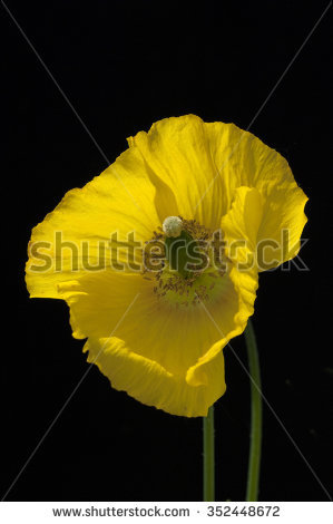 Meconopsis Stock Images, Royalty.