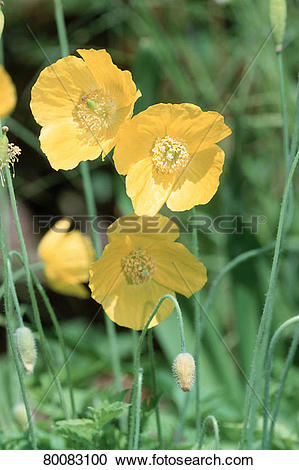 Stock Photography of DEU, 2002: Welsh Poppy (Meconopsis cambrica.