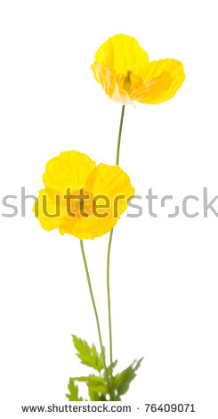 Meconopsis Welsh Cambrica Isolated Poppy Stock Photos, Royalty.
