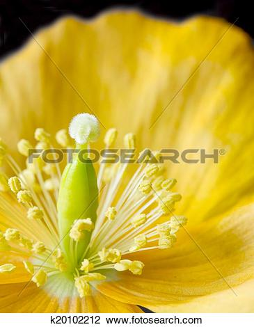 Stock Photo of Yellow or Welsh Poppy 'Meconopsis cambrica' on a.