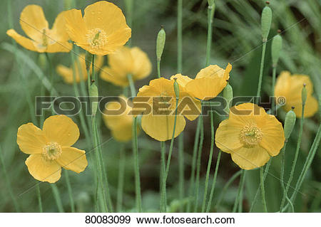 Stock Photograph of DEU, 2002: Welsh Poppy (Meconopsis cambrica.