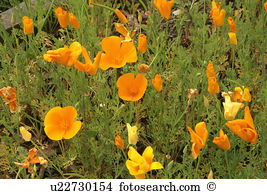 Welsh poppy Images and Stock Photos. 38 welsh poppy photography.