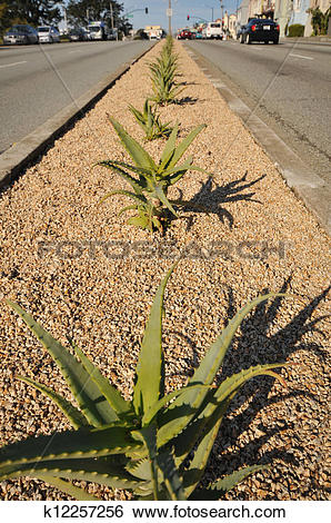 Stock Images of Row of cactus in a city street median strip.