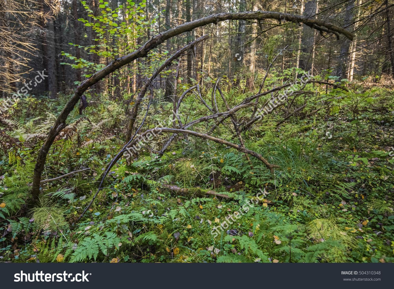 Wild Forest Fallen Tree Forest Wild Stock Photo 504310348.