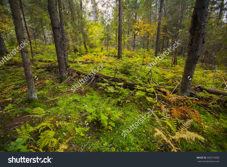 Wild Forest Fallen Tree Forest Wild Stock Photo 509274400.