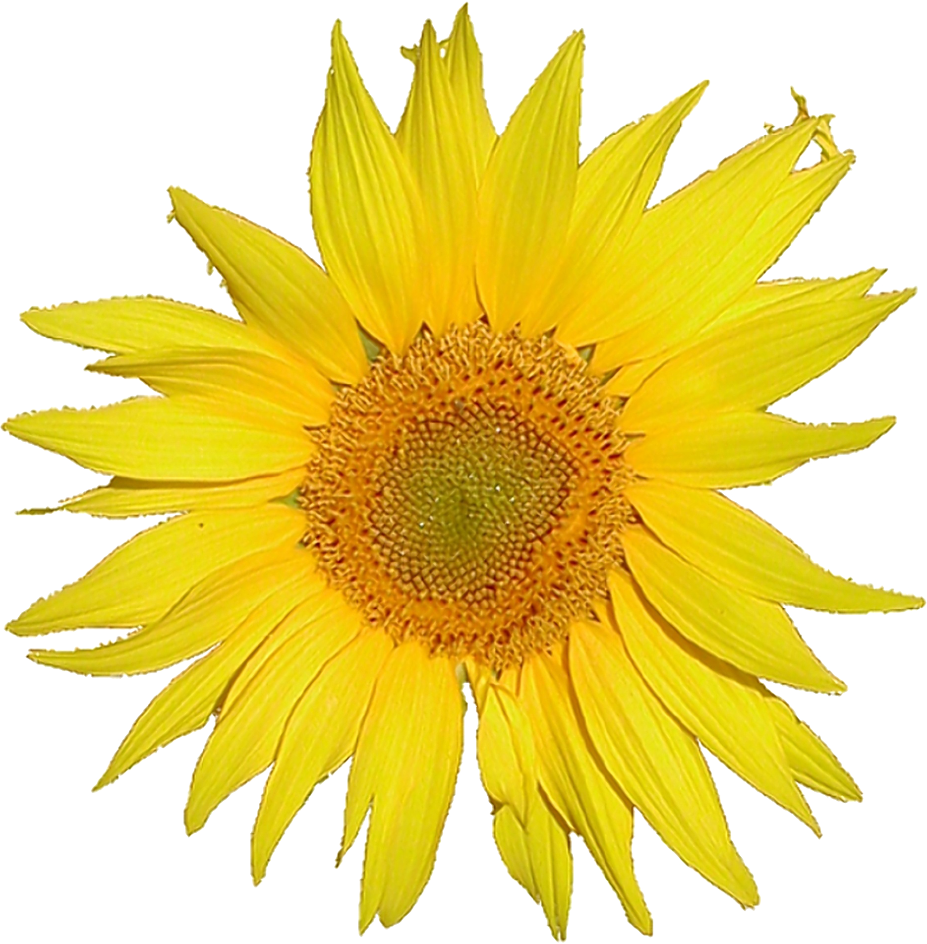 Sunflower Printable Clipart.