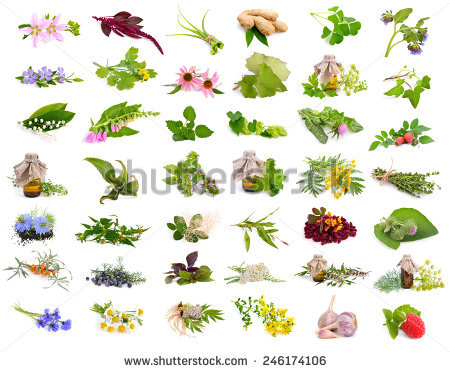 Sorrel Plant Stock Images, Royalty.