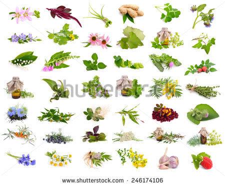 Sorrel Plant Stock Images, Royalty.