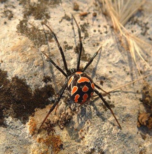 17 Best ideas about Black Widow Spider on Pinterest.