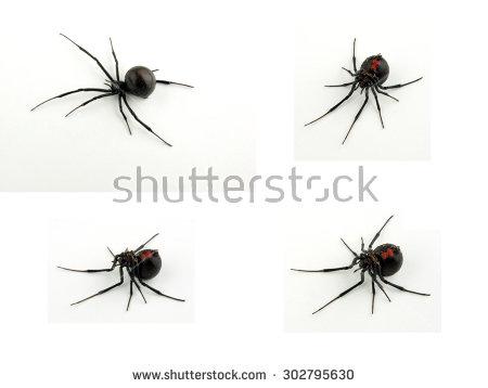 Black Widow Spider Lizenzfreie Bilder und Vektorgrafiken kaufen.