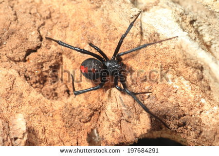 Mediterranean Black Widow Latrodectus Tredecimguttatus Wild Stock.