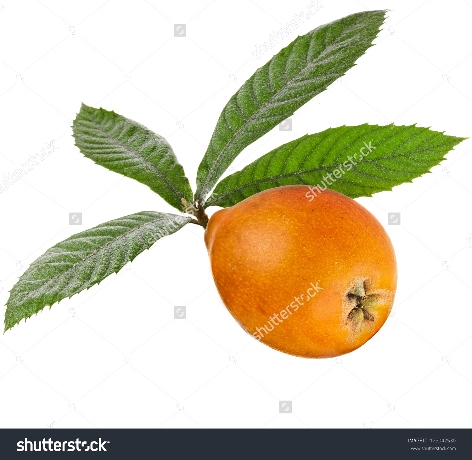 One Loquat Medlar Branch Isolated On A White Background Stock.