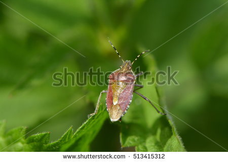 Miridae Stock Photos, Royalty.