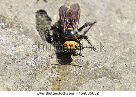 Mammoth Wasp Stock Photos, Royalty.