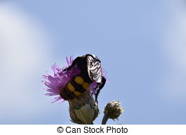 Stock Photo of Megascolia maculata. The mammoth wasp. Wasp on.