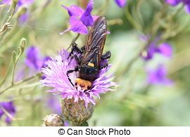 Picture of Megascolia maculata. The mammoth wasp. Wasp on Scola.