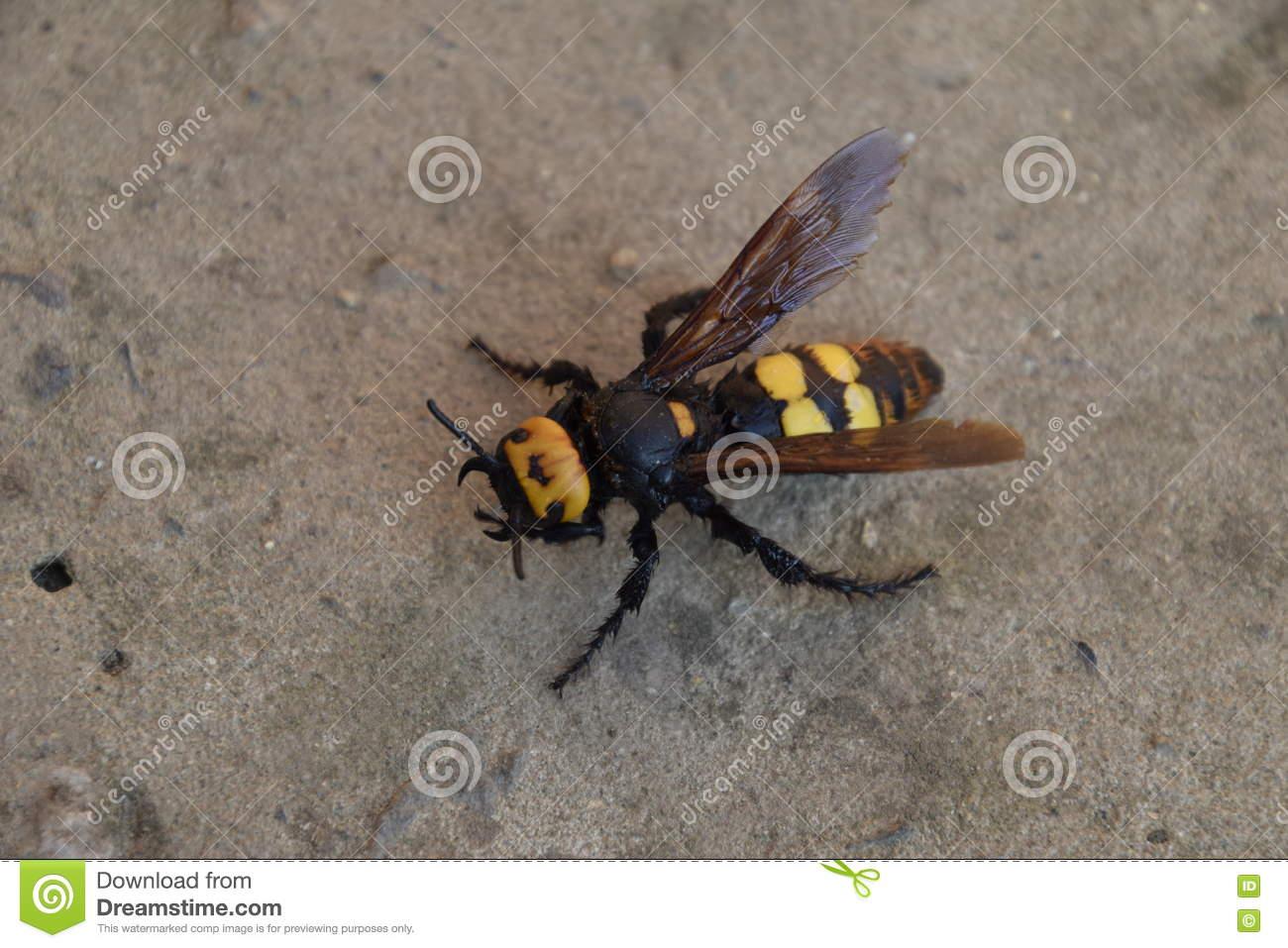 Megascolia Maculata. The Mammoth Wasp. Stock Photo.
