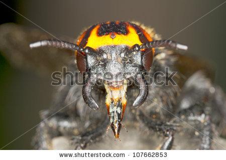 Megascolia Maculata Maculata / Solitary Wasp.
