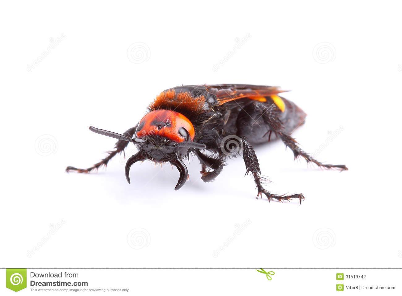 Mammoth Wasp (Megascolia Maculata) Isolated On White Royalty Free.