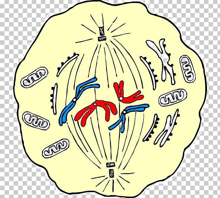 Mitosis Metaphase Cell Division Meiosis PNG, Clipart.