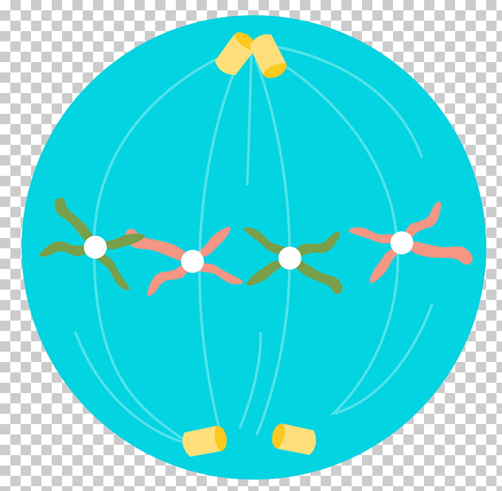 Cell division Meiosis Chromosome, cell division PNG clipart.