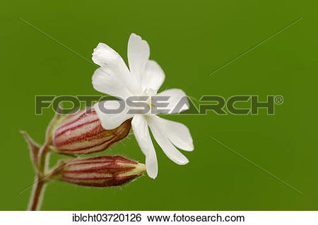 "Stock Images of ""White Campion or Bladder Campion (Silene."